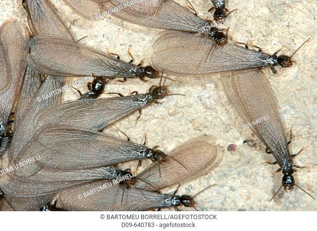 Termites, Reticulitermes lucifugus. Winged specimens ready for nuptial flight