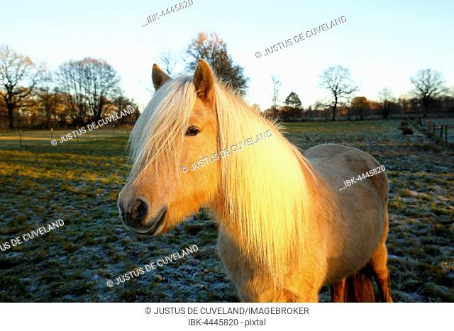 Isabel colored Iceland Pony in last evening light, Iceland Pony, Iceland horse (Equus przewalskii f. Caballus) mare, horse breed, Schleswig-Holstein, Germany