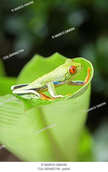Red-eyed tree frog (Agalychnis callidryas) on edge of leaf, Costa Rica