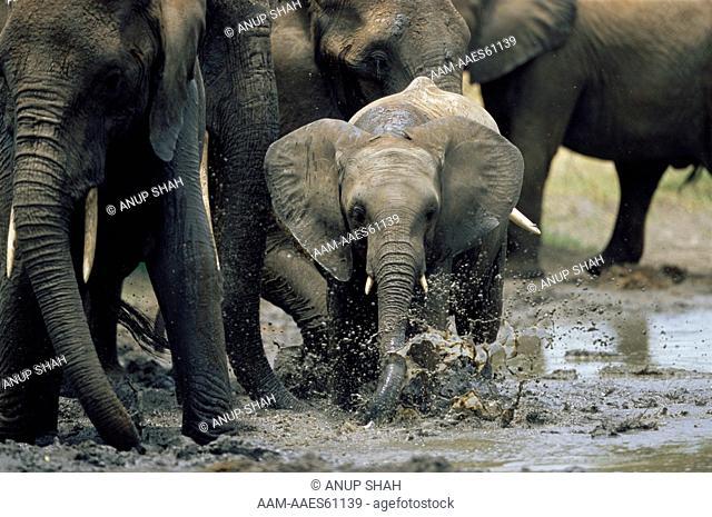 Juvenile African Elephant playing in mud wallow amongst herd (Loxodonta africana) Tarangire National Park, Tanzania