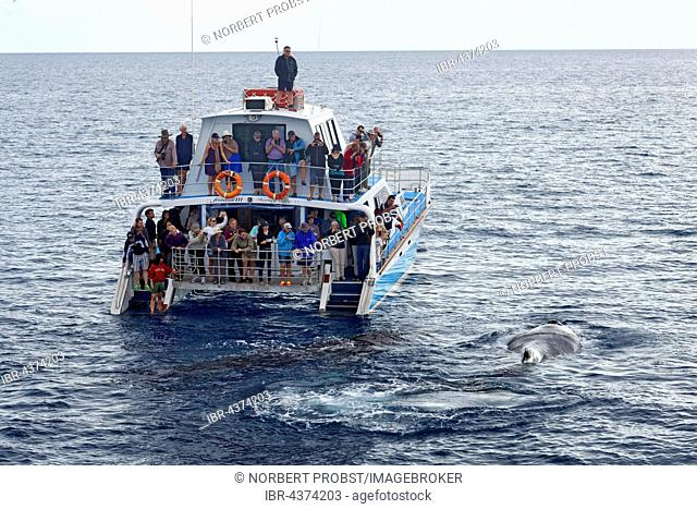 Group of tourists watching humpback whale (Megaptera novaeangliae) in the rear of a whale-watching boat, Mooloolaba, Queensland, Pacific, Australia