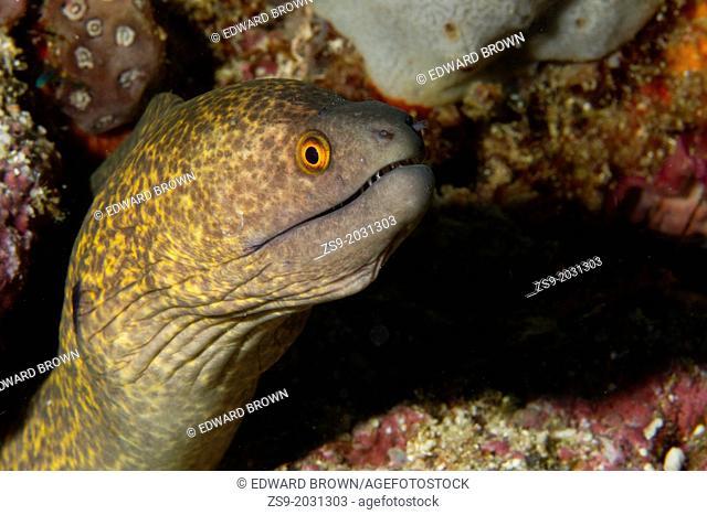 Yellow-margined Moray Eel (Gymnothorax flavimarginatus) Mabul, Borneo, Malaysia