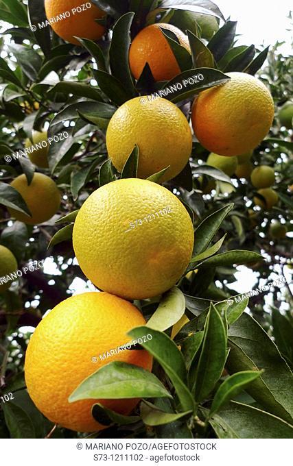 Orange tree, Málaga, Andalucía, Spain