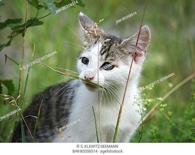 domestic cat, house cat (Felis silvestris f. catus), tabby and white kitten sniffing at a blade of grass, Germany, Baden-Wuerttemberg