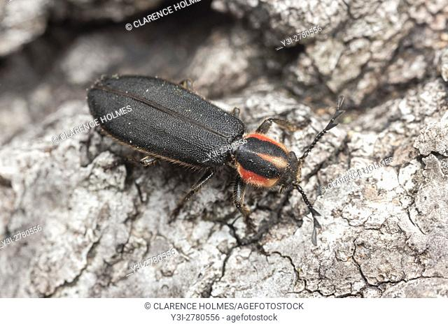 A Checkered Beetle (Chariessa pilosa) explores on the bark of a dead tree