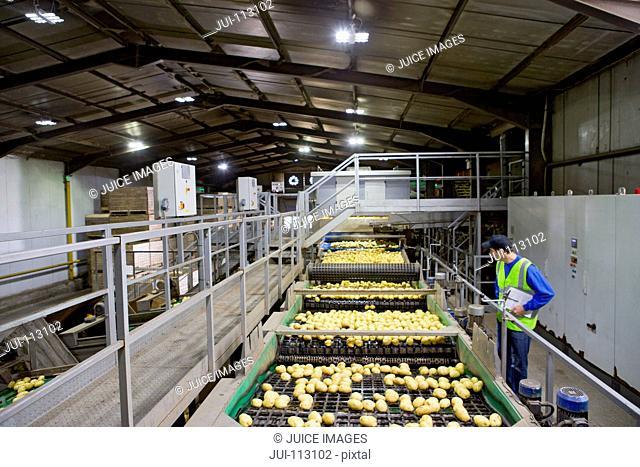 Worker on platform examining potatoes on conveyor belt in factory