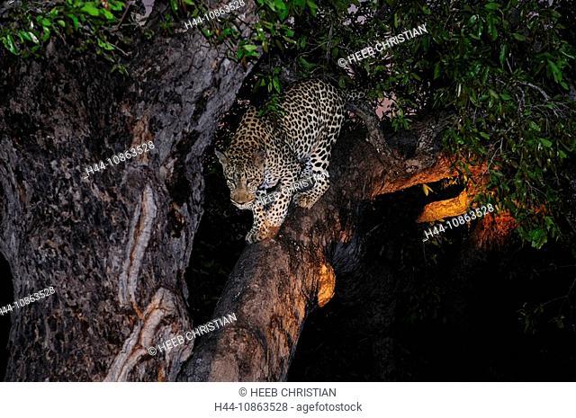 Leopard, Panthera pardus, Ulusaba Sir Richard Branson's Private Game Reserve, Sabi Sands Game Reserve, Mpumalanga, South Africa, night, tree, animals, animal