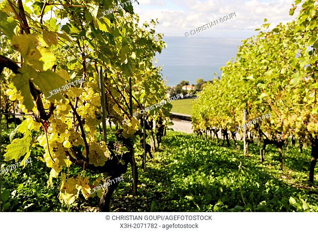 Chasselas grape vine of Daley Estate in the Vineyard terraces of Lavaux on the bank of Leman Lake, around Lausanne, Canton of Vaud, Switzerland, Europe
