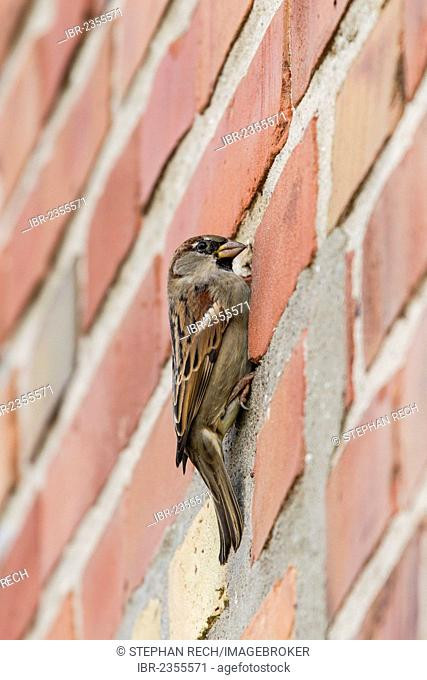 House Sparrow (Passer domesticus), on a brick wall, Ruegen Island, Mecklenburg-Western Pomerania, Germany, Europe