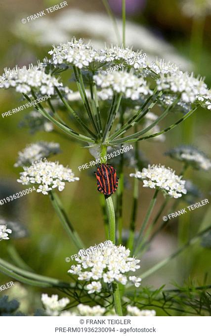 Athamanta cretensis with Italian Striped-Bug (Graphosoma lineatum) / Alpen-Augenwurz (Athamanta cretensis) mit Streifenwanze (Graphosoma lineatum)