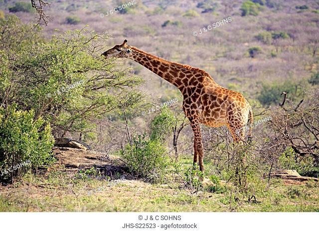 Cape Giraffe, (Giraffa camelopardalis giraffa), adult alert, feeding, Hluhluwe Umfolozi Nationalpark, Hluhluwe iMfolozi Nationalpark, KwaZulu Natal