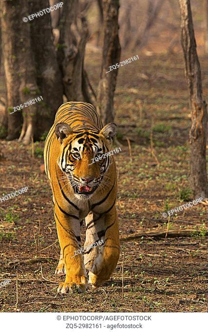Tiger- Pacman, Panthera tigris, Ranthambhore Tiger Reserve, Rajasthan, India