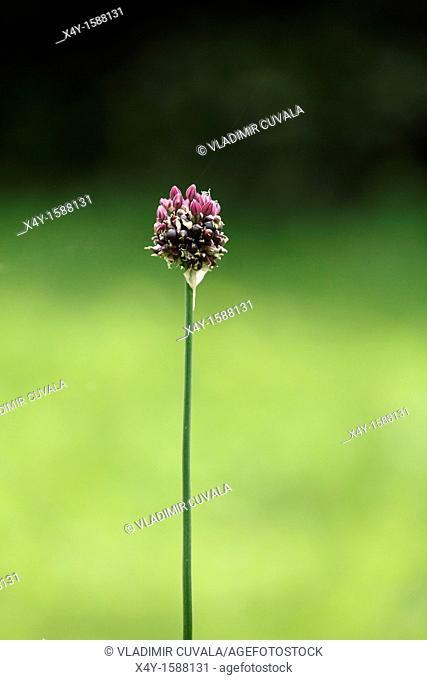Flowering Sand Leek Allium scorodoprasum  Location: Male Karpaty, Slovakia