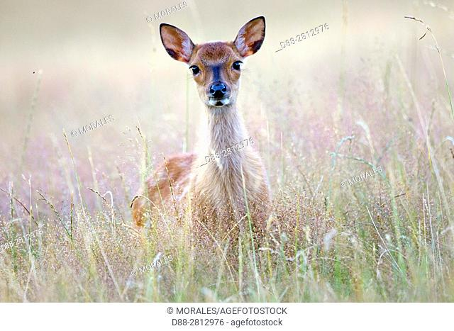 France, Haute Saone, Private park, Sika Deer (Cervus nippon), female