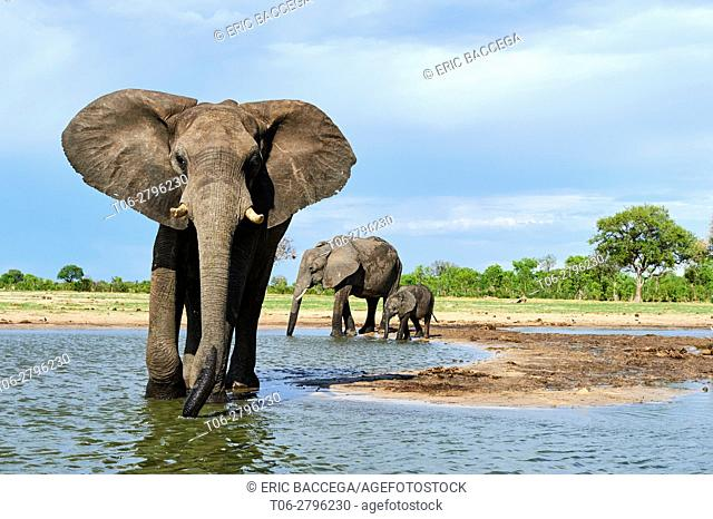 African elephant group (Loxodonta africana) drinking at a watehole. Hwange National Park, Zimbabwe