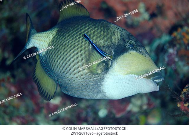 Titan Triggerfish (Balistoides viridescens) being cleaned by Bluestreak Cleaner Wrasse (Labroides dimidiatus), Boo Rocks dive site, Boo Island, Misool