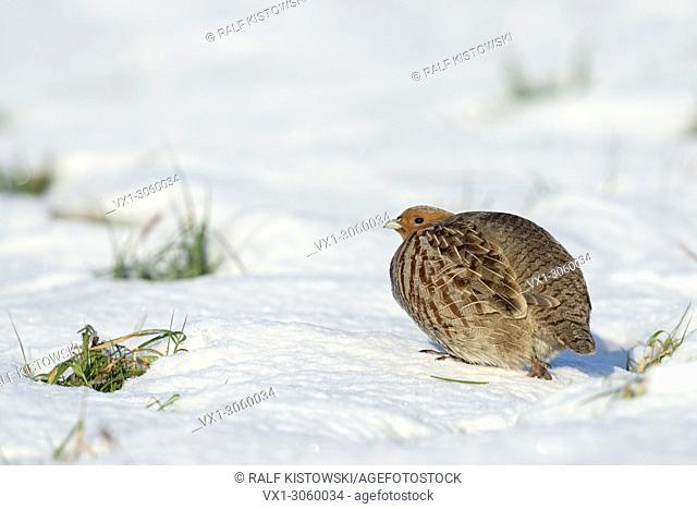 Grey Partridge ( Perdix perdix ), one adult in winter, sneaks away on snow covered ground, wildlife, Europe