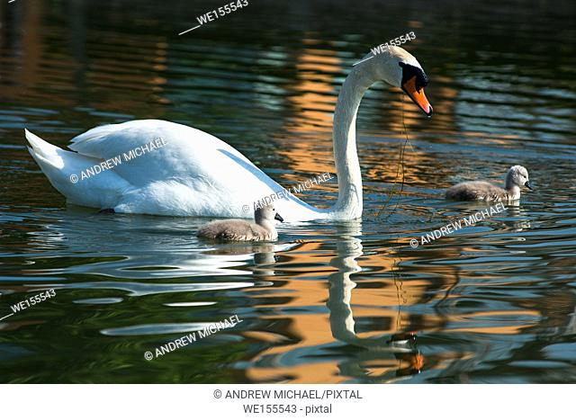 Mute swans with cygnets in morning light. Cambourne, Cambridgeshire, England