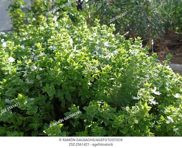 Basil (Ocimum basiliscum)