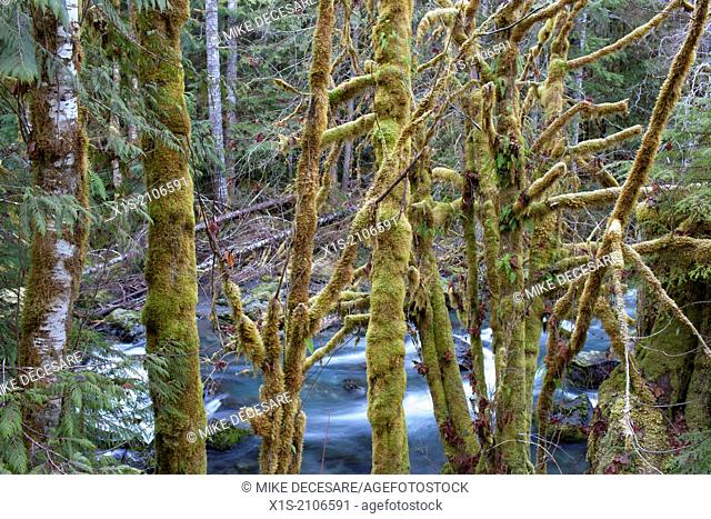 Moss covered trees resemble a curtain in front of a flowing river in the Pacific Northwest forest and its moss covered trees