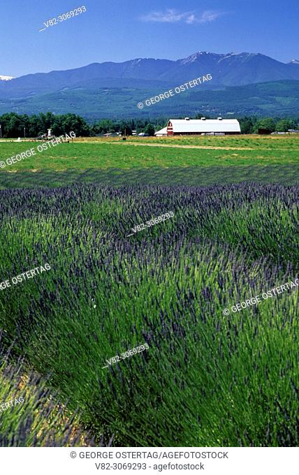 Lavender farm, The Cutting Garden, Clallam County, Washington