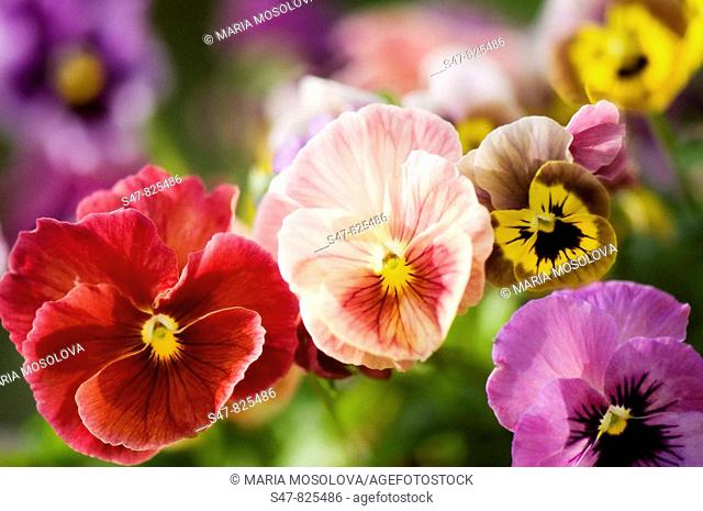 Variety of Pansy Flowers. Viola x wittrockiana