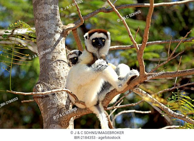 Verreaux's Sifaka (Propithecus verreauxi), mother with young, Berenty Reserve, Madagascar, Africa