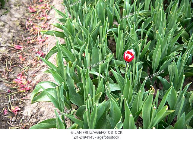 cut tulipfield with one red tulip left in Beemster polder in Holland