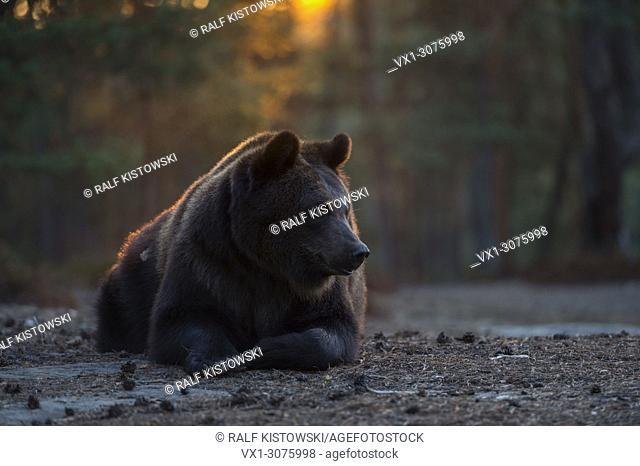 European Brown Bear ( Ursus arctos ) resting in beautiful morning light, nice backlight situation, frontal shot, Europe