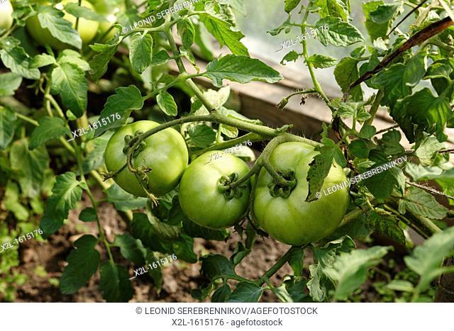 Organic tomatoes in greenhouse  Scientific name: Solanum lycopersicum, or Lycopersicon esculentum