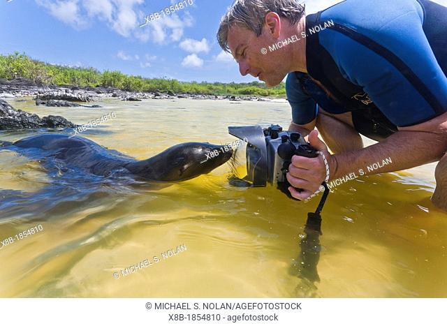 Galapagos sea lion pup Zalophus wollebaeki with photographer on Gardner beach on Santiago Island in the Galapagos Island Archipelago, Ecuador