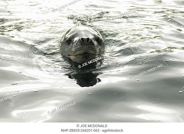Leopard Seal, Hydrurga leptonyx, swimming, Cooper Bay, South Georgia