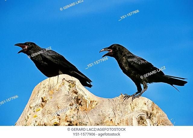 Common Raven, corvus corax, Adults calling, Cawing