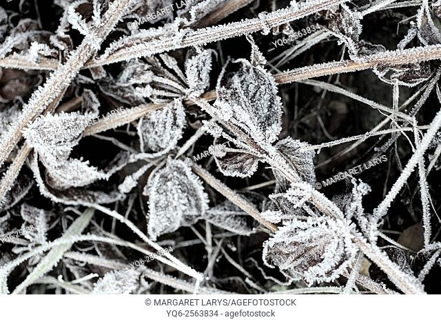 Leaves and plants covered with frost
