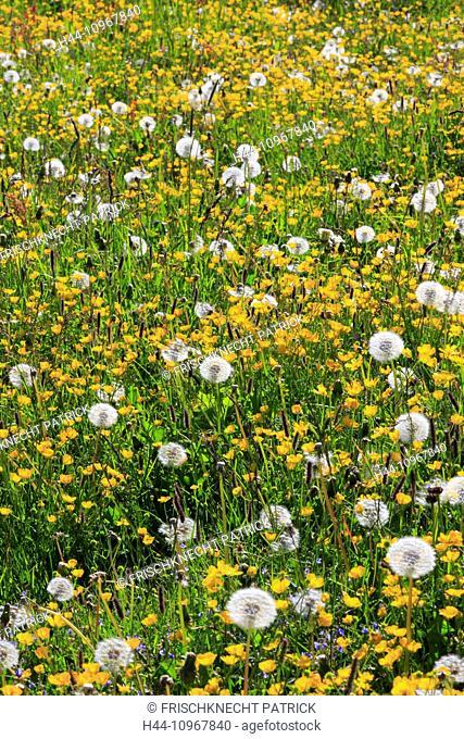 Alp, Alpine flower, Alpine flowers, Alpine meadow, mountain flower, mountain flowers, mountain spring, flower, flower meadow, detail, flora, spring, back light