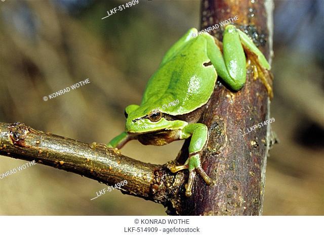 Tree Frog, Hyla arborea, Austria