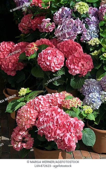 Hydrangea in flower pots. Germany