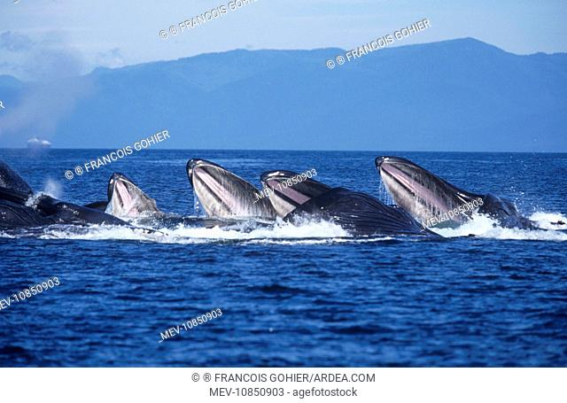 Humpback Whale - bubble-net or cooperative feeding (Megaptera novaeangliae). Alaska