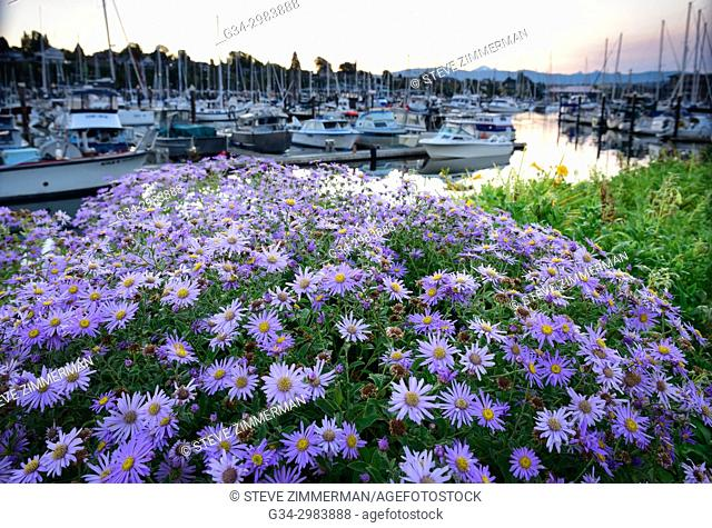 Purple Dawn. Bellingham, Washington, USA