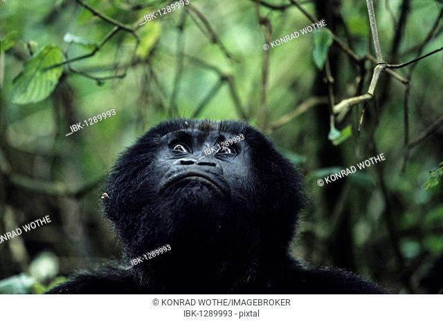 Mountaingorilla (Gorilla beringei) looking up, Virunga National Park, Zaire, Africa