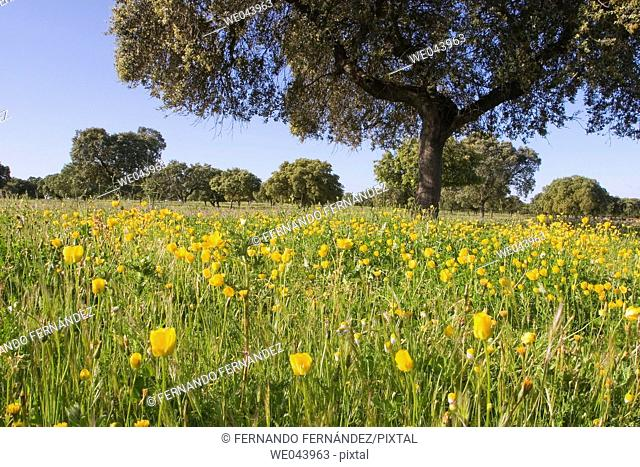 Holm oak trees in Brozas, Caceres province. Extremadura, Spain