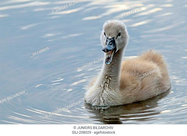 Mute Swan (Cygnus olor). Cygnet swimming while calling. Germany