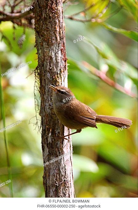 Sunda Bush-warbler Cettia vulcania oreophila adult male, singing, perched on trunk, Crocker Range N P , Sabah, Borneo, Malaysia, january