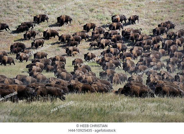 Stampede, Bos Bison, Buffallo, animal, Buffalo Roundup, Custer, State Park, Bison, Prarie, herding, Black Hills, South Dakota, USA, United States, America