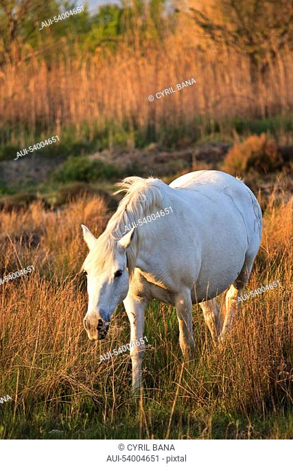 France, Camargue, single white horse, graze, marsh