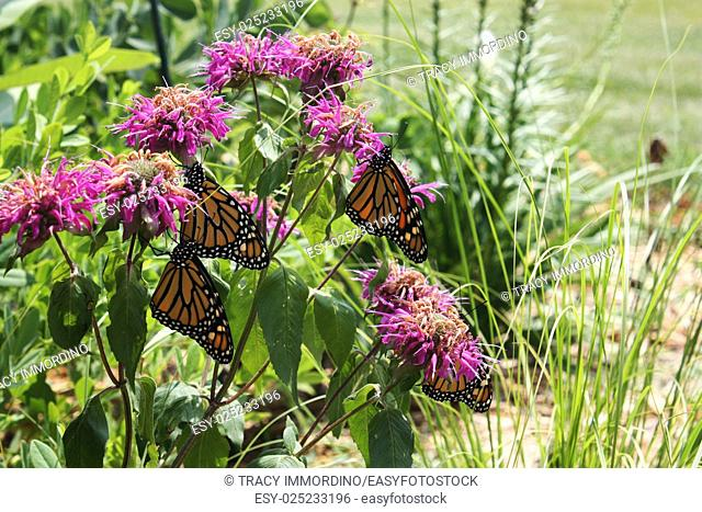 Close up of four Monarch butterflies resting on Bee balm in a garden in Trevor, Wisconsin, USA