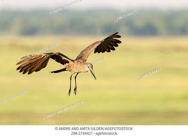 Hamerkop (Scopus umbretta) flying, Maasai Mara National Reserve, Kenya