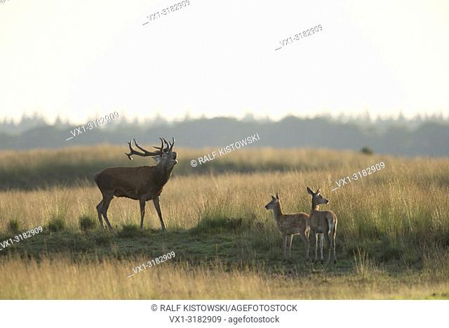 Red Deer ( Cervus elaphus ) stag, bellowing loudly, in typical steppe, two does standing next