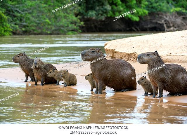 Capybara (Hydrochoerus hydrochaeris) family on a beach at a tributary of the Cuiaba River near Porto Jofre in the northern Pantanal