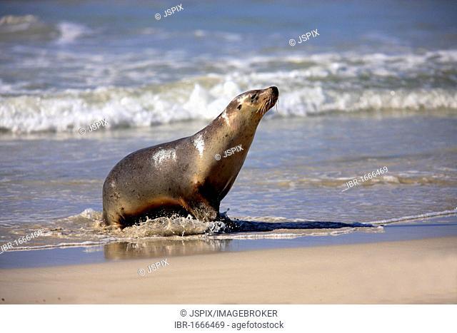 Australian sea lion (Neophoca cinerea), adult walking on the beach, Kangaroo Island, South Australia, Australia